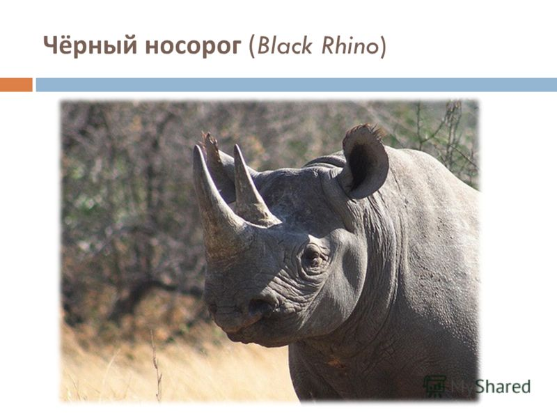 Чёрный носорог (Black Rhino)