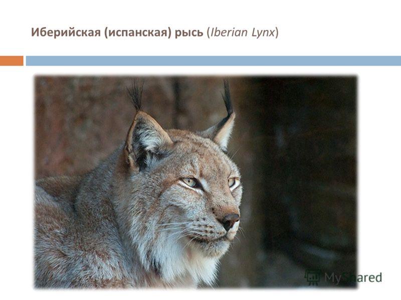 Иберийская ( испанская ) рысь (Iberian Lynx)