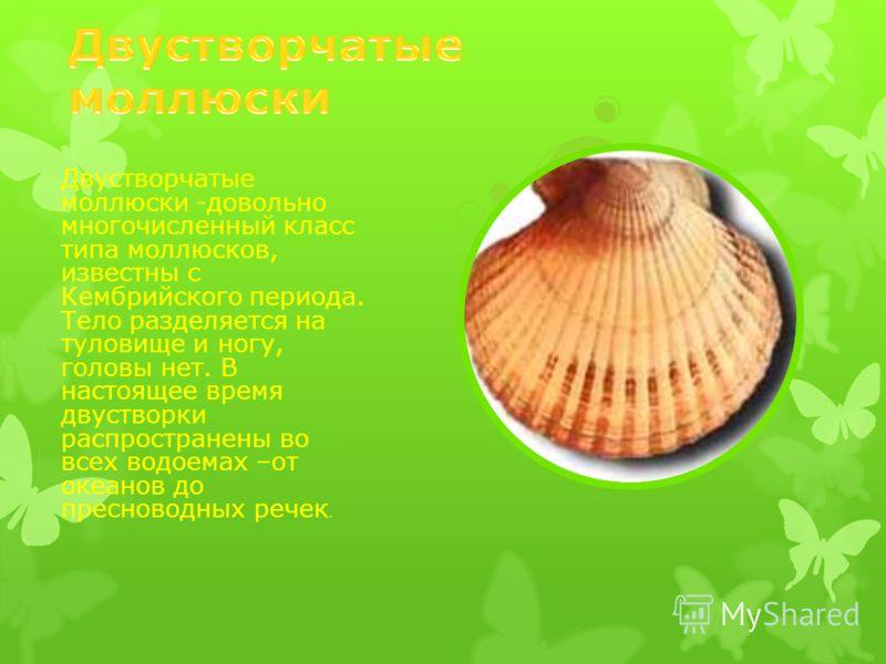 Двустворчатые моллюски -довольно многочисленный класс типа моллюсков, известны с Кембрийского периода. Тело разделяется на туловище и ногу, головы нет. В настоящее время двустворки распространены во всех водоемах –от океанов до пресноводных речек.