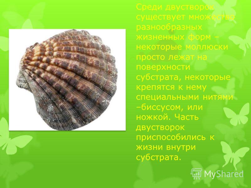 Среди двустворок существует множество разнообразных жизненных форм – некоторые моллюски просто лежат на поверхности субстрата, некоторые крепятся к нему специальными нитями –биссусом, или ножкой. Часть двустворок приспособились к жизни внутри субстра