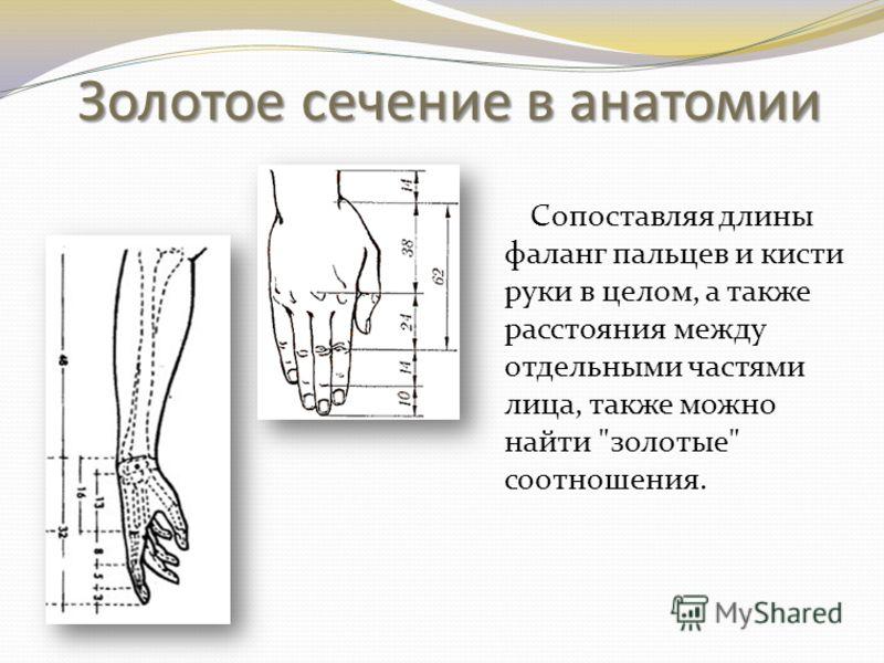 Золотое сечение в анатомии Сопоставляя длины фаланг пальцев и кисти руки в целом, а также расстояния между отдельными частями лица, также можно найти золотые соотношения.