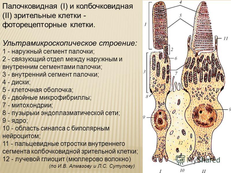 Палочковидная (I) и колбочковидная (II) зрительные клетки - фоторецепторные клетки. Ультрамикроскопическое строение: 1 - наружный сегмент палочки; 2 - связующий отдел между наружным и внутренним сегментами палочки; 3 - внутренний сегмент палочки; 4 -