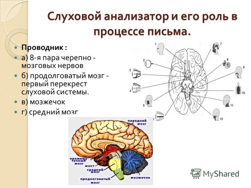Слуховой анализатор и его роль в процессе письма. Проводник : а ) 8- я пара черепно - мозговых нервов б ) продолговатый мозг - первый перекрест слуховой системы. в ) мозжечок г ) средний мозг