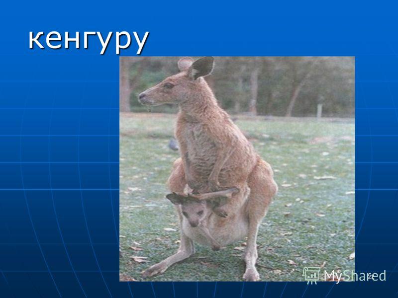 22 кенгуру кенгуру