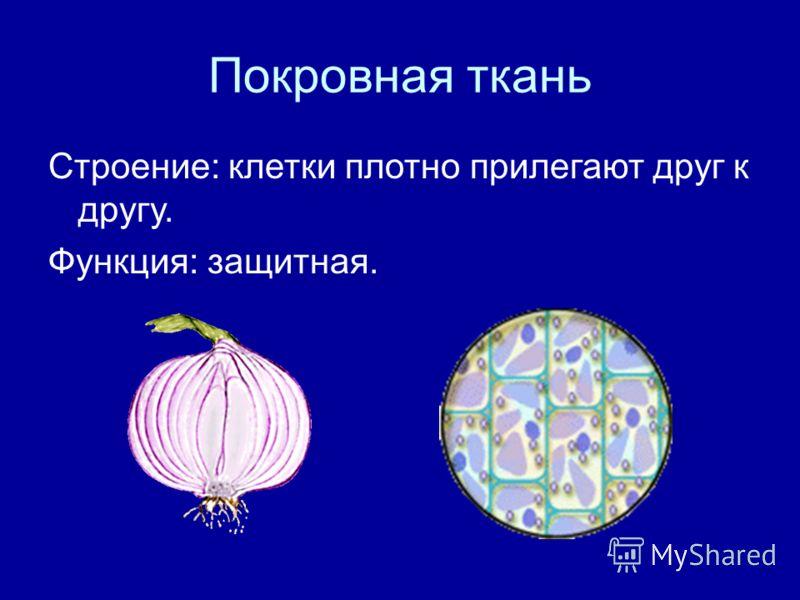 Покровная ткань Строение: клетки плотно прилегают друг к другу. Функция: защитная.