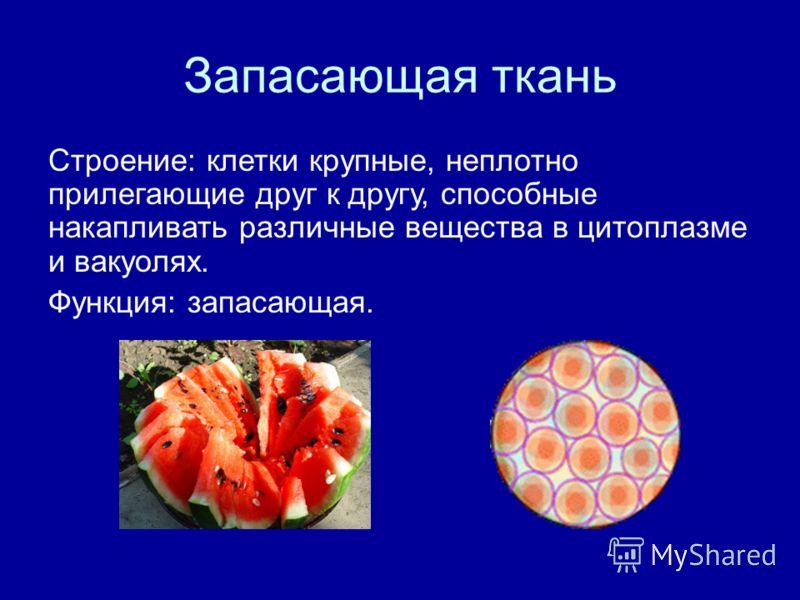 Запасающая ткань Строение: клетки крупные, неплотно прилегающие друг к другу, способные накапливать различные вещества в цитоплазме и вакуолях. Функция: запасающая.