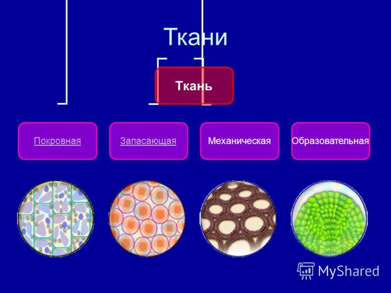 Ткани Ткань ПокровнаяЗапасающаяМеханическаяОбразовательная
