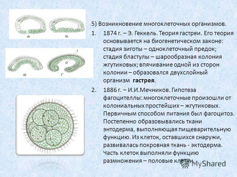 5) Возникновение многоклеточных организмов. 1.1874 г. – Э. Геккель. Теория гастреи. Его теория основывается на биогенетическом законе: стадия зиготы – одноклеточный предок; стадия бластулы – шарообразная колония жгутиковых; впячивание одной из сторон