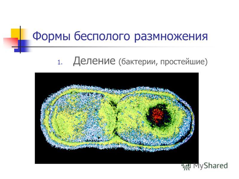 Формы бесполого размножения 1. Деление (бактерии, простейшие)