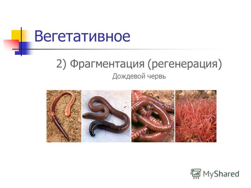 Вегетативное 2) Фрагментация (регенерация) Дождевой червь