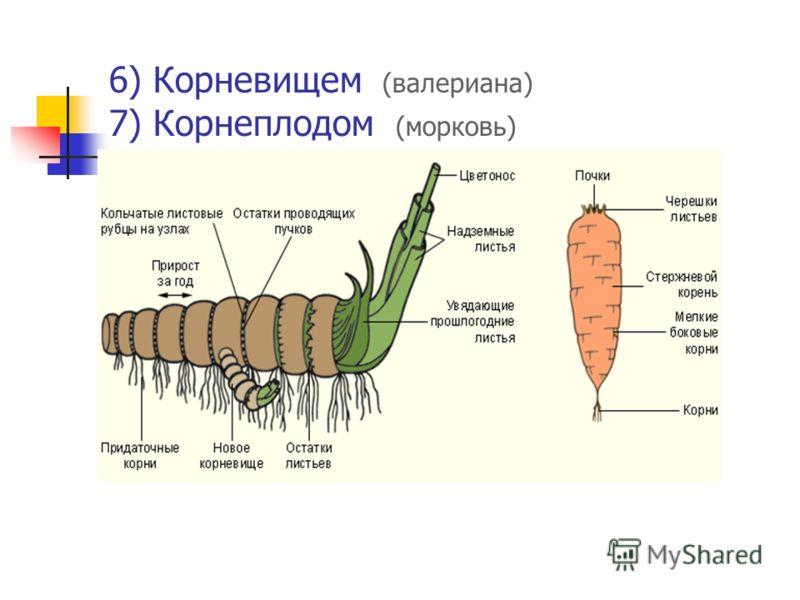 6) Корневищем (валериана) 7) Корнеплодом (морковь)