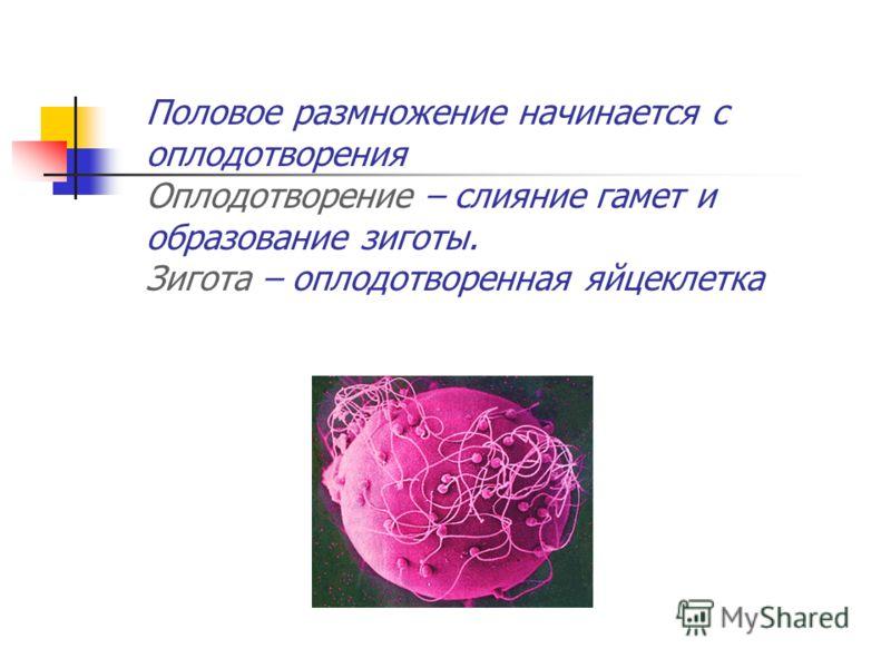 Половое размножение начинается с оплодотворения Оплодотворение – слияние гамет и образование зиготы. Зигота – оплодотворенная яйцеклетка