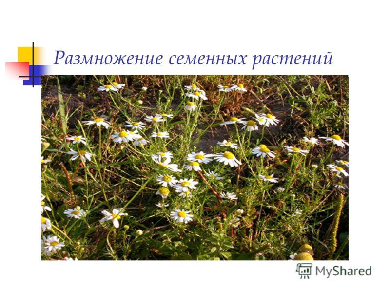 Размножение семенных растений