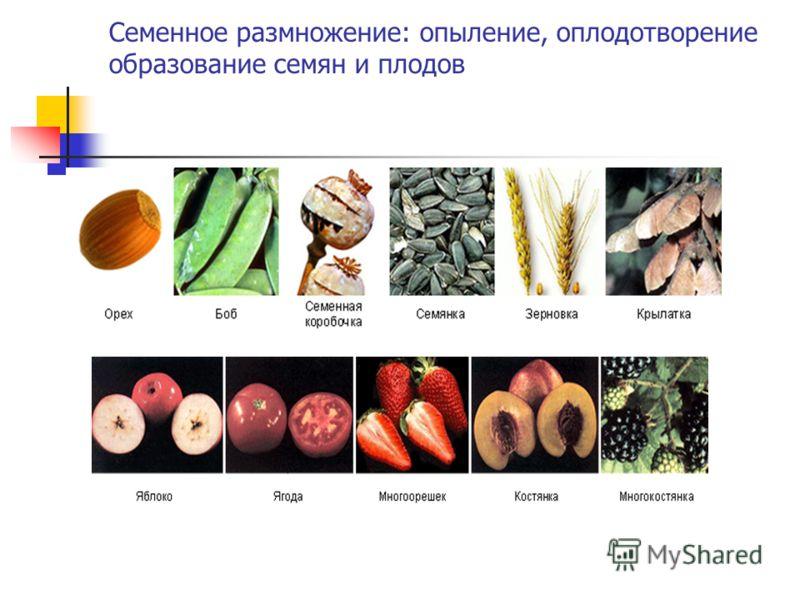 Семенное размножение: опыление, оплодотворение образование семян и плодов