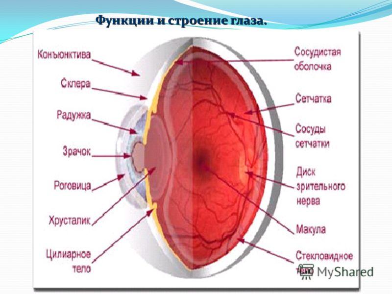 Функции и строение глаза.