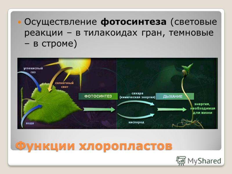 Функции хлоропластов Осуществление фотосинтеза (световые реакции – в тилакоидах гран, темновые – в строме)