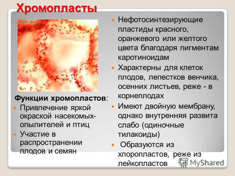 Хромопласты Функции хромопластов: Привлечение яркой окраской насекомых- опылителей и птиц Участие в распространении плодов и семян Нефотосинтезирующие пластиды красного, оранжевого или желтого цвета благодаря пигментам каротиноидам Характерны для кле