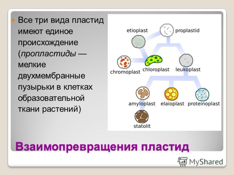 Взаимопревращения пластид Все три вида пластид имеют единое происхождение (пропластиды мелкие двухмембранные пузырьки в клетках образовательной ткани растений)