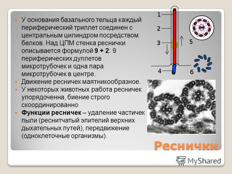 Реснички У основания базального тельца каждый периферический триплет соединен с центральным цилиндром посредством белков. Над ЦПМ стенка реснички описывается формулой 9 + 2: 9 периферических дуплетов микротрубочек и одна пара микротрубочек в центре.