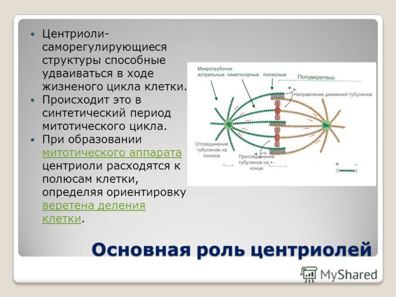 Основная роль центриолей Центриоли- саморегулирующиеся структуры способные удваиваться в ходе жизненого цикла клетки. Происходит это в синтетический период митотического цикла. При образовании митотического аппарата центриоли расходятся к полюсам кле
