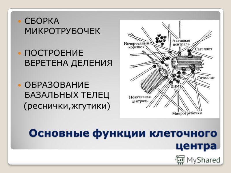 Основные функции клеточного центра СБОРКА МИКРОТРУБОЧЕК ПОСТРОЕНИЕ ВЕРЕТЕНА ДЕЛЕНИЯ ОБРАЗОВАНИЕ БАЗАЛЬНЫХ ТЕЛЕЦ (реснички,жгутики)