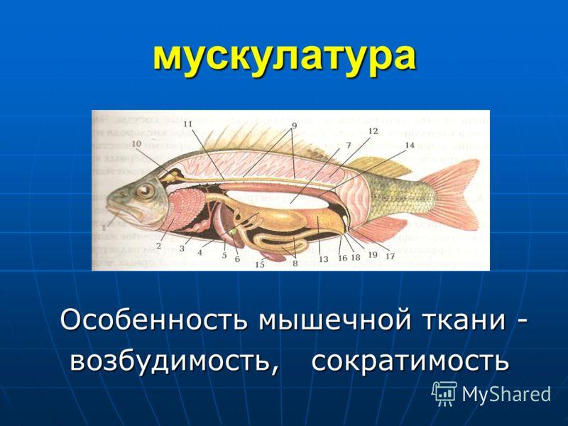 мускулатура Особенность мышечной ткани - Особенность мышечной ткани - возбудимость, сократимость возбудимость, сократимость