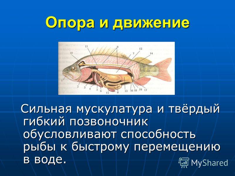 Опора и движение Сильная мускулатура и твёрдый гибкий позвоночник обусловливают способность рыбы к быстрому перемещению в воде. Сильная мускулатура и твёрдый гибкий позвоночник обусловливают способность рыбы к быстрому перемещению в воде.