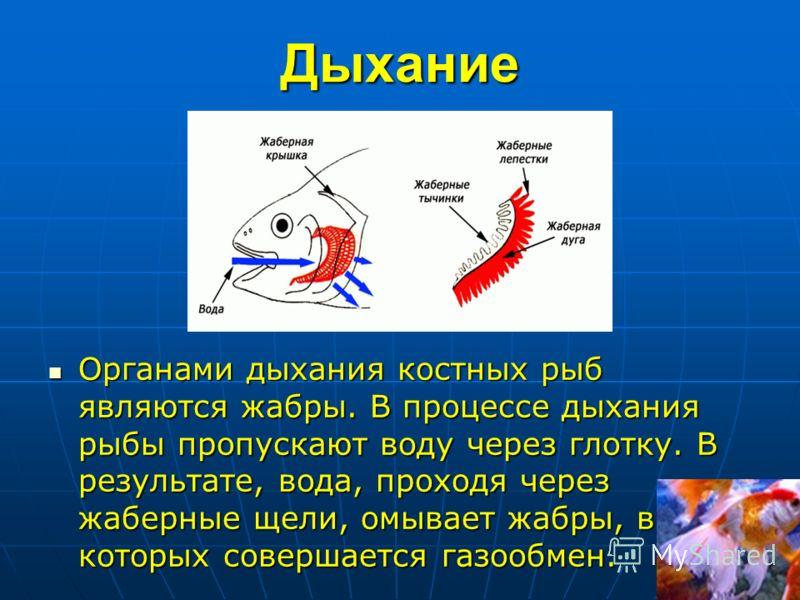 Дыхание Органами дыхания костных рыб являются жабры. В процессе дыхания рыбы пропускают воду через глотку. В результате, вода, проходя через жаберные щели, омывает жабры, в которых совершается газообмен. Органами дыхания костных рыб являются жабры. В
