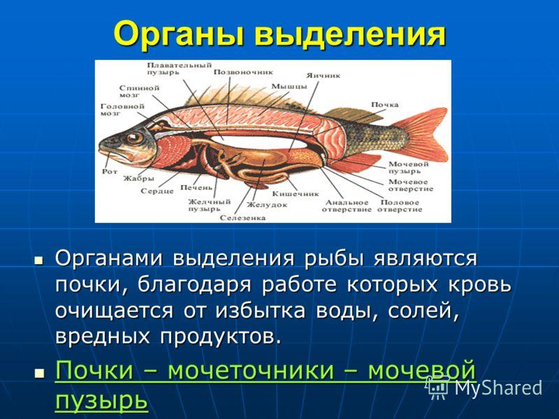 Органы выделения Органами выделения рыбы являются почки, благодаря работе которых кровь очищается от избытка воды, солей, вредных продуктов. Органами выделения рыбы являются почки, благодаря работе которых кровь очищается от избытка воды, солей, вред
