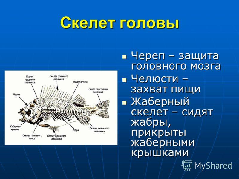 Скелет головы Череп – защита головного мозга Череп – защита головного мозга Челюсти – захват пищи Челюсти – захват пищи Жаберный скелет – сидят жабры, прикрыты жаберными крышками Жаберный скелет – сидят жабры, прикрыты жаберными крышками