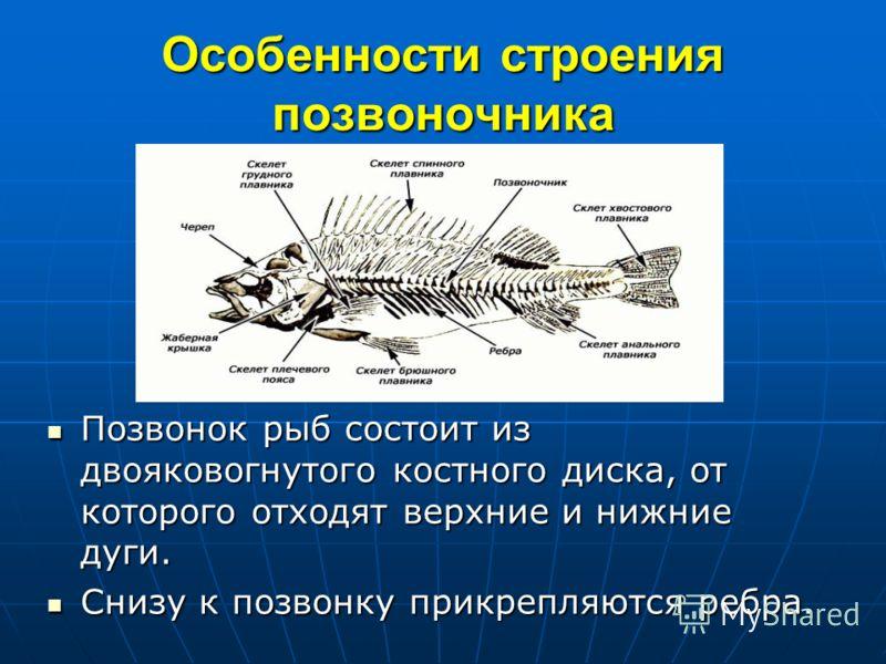 Особенности строения позвоночника Позвонок рыб состоит из двояковогнутого костного диска, от которого отходят верхние и нижние дуги. Позвонок рыб состоит из двояковогнутого костного диска, от которого отходят верхние и нижние дуги. Снизу к позвонку п