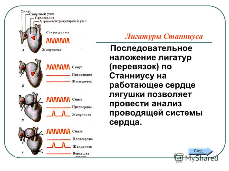 Лигатуры Станниуса Последовательное наложение лигатур (перевязок) по Станниусу на работающее сердце лягушки позволяет провести анализ проводящей системы сердца.