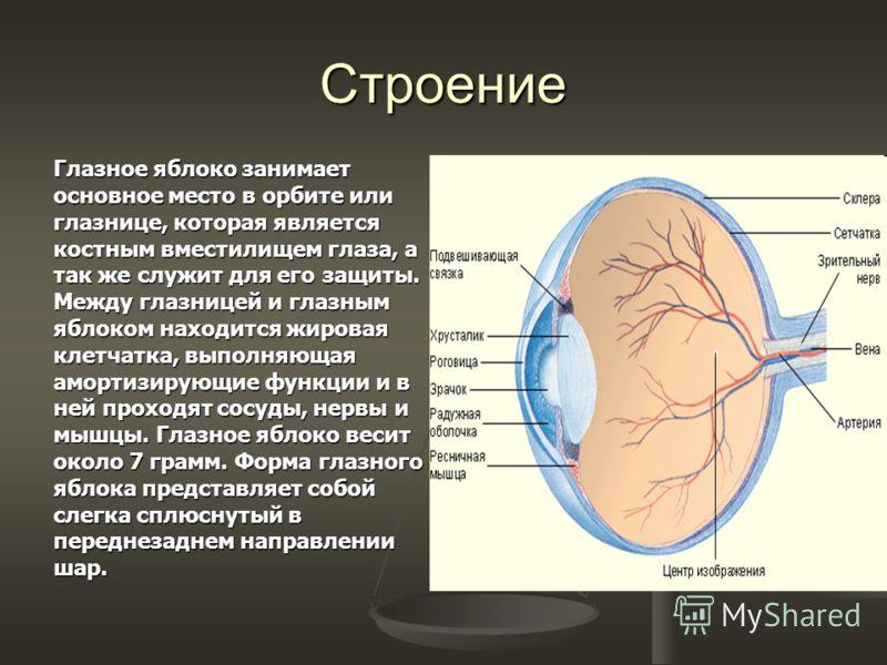 Строение Глазное яблоко занимает основное место в орбите или глазнице, которая является костным вместилищем глаза, а так же служит для его защиты. Между глазницей и глазным яблоком находится жировая клетчатка, выполняющая амортизирующие функции и в н