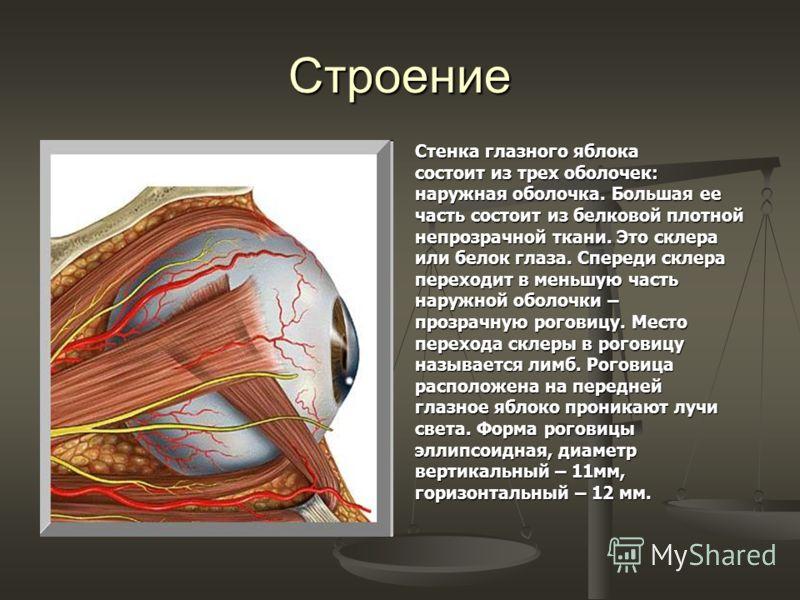 Строение Стенка глазного яблока состоит из трех оболочек: наружная оболочка. Большая ее часть состоит из белковой плотной непрозрачной ткани. Это склера или белок глаза. Спереди склера переходит в меньшую часть наружной оболочки – прозрачную роговицу