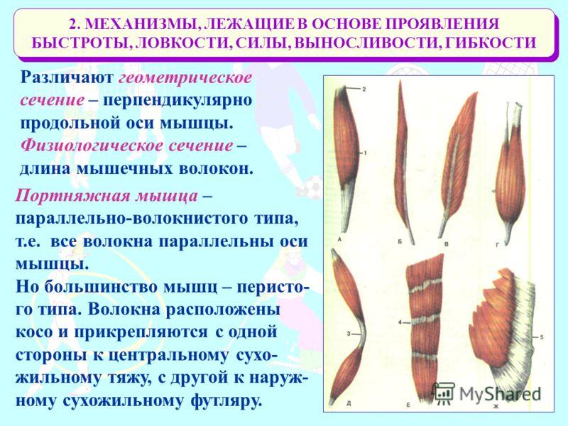 2. МЕХАНИЗМЫ, ЛЕЖАЩИЕ В ОСНОВЕ ПРОЯВЛЕНИЯ БЫСТРОТЫ, ЛОВКОСТИ, СИЛЫ, ВЫНОСЛИВОСТИ, ГИБКОСТИ Различают геометрическое сечение – перпендикулярно продольной оси мышцы. Физиологическое сечение – длина мышечных волокон. Портняжная мышца – параллельно-волок