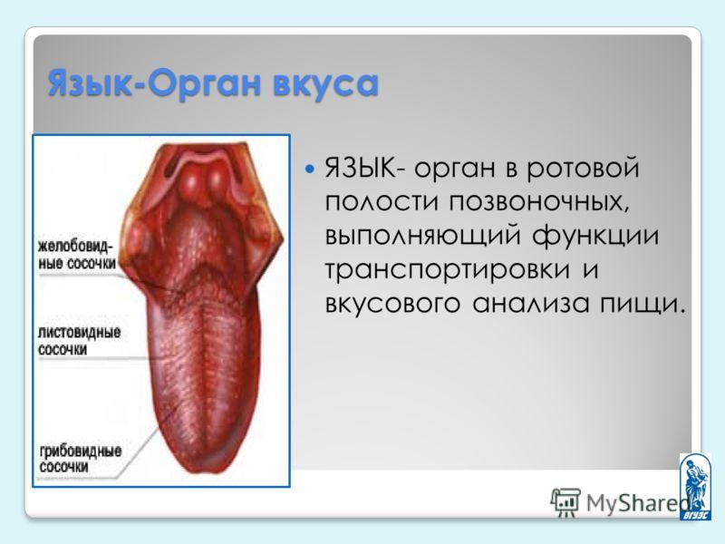 Язык-Орган вкуса ЯЗЫК- орган в ротовой полости позвоночных, выполняющий функции транспортировки и вкусового анализа пищи.