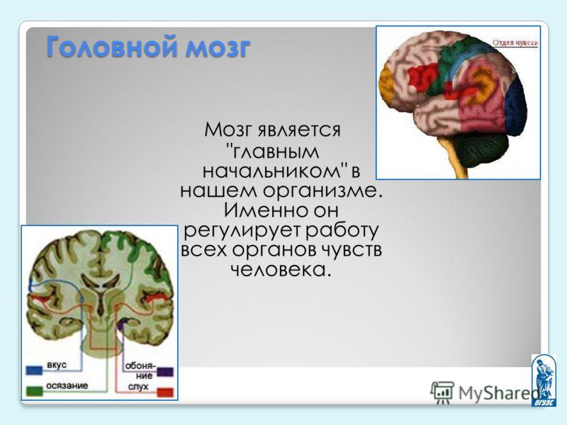 Головной мозг Мозг является главным начальником в нашем организме. Именно он регулирует работу всех органов чувств человека.