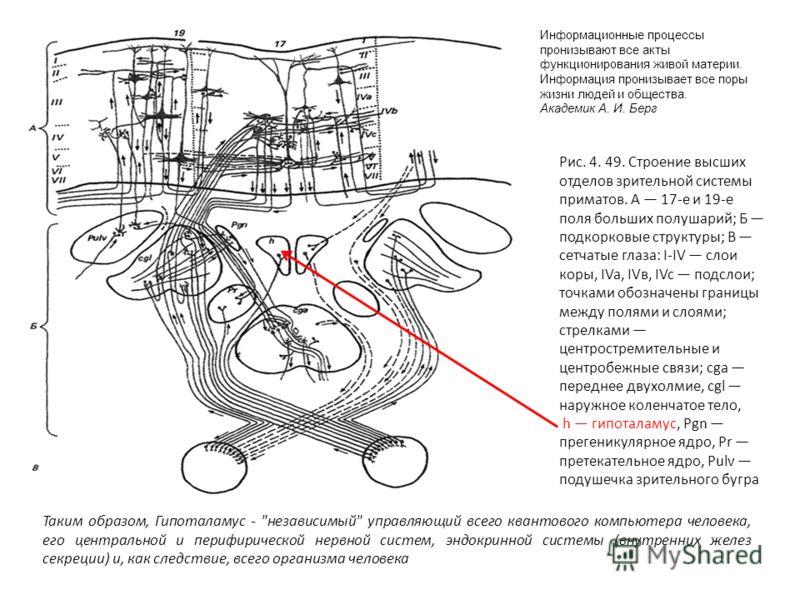 Рис. 4. 49. Строение высших отделов зрительной системы приматов. A 17-е и 19-е поля больших полушарий; Б подкорковые структуры; В сетчатые глаза: I-IV слои коры, IVa, IVв, IVc подслои; точками обозначены границы между полями и слоями; стрелками центр