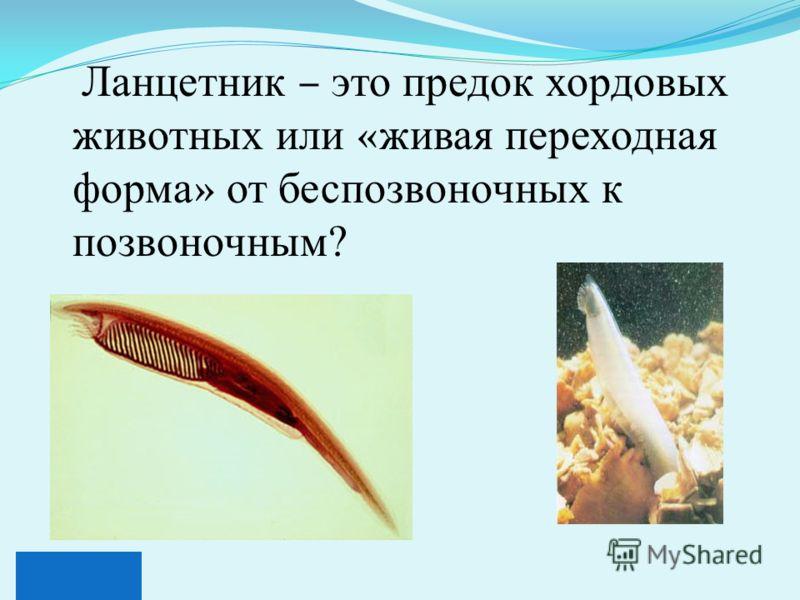 Ланцетник – это предок хордовых животных или « живая переходная форма » от беспозвоночных к позвоночным?