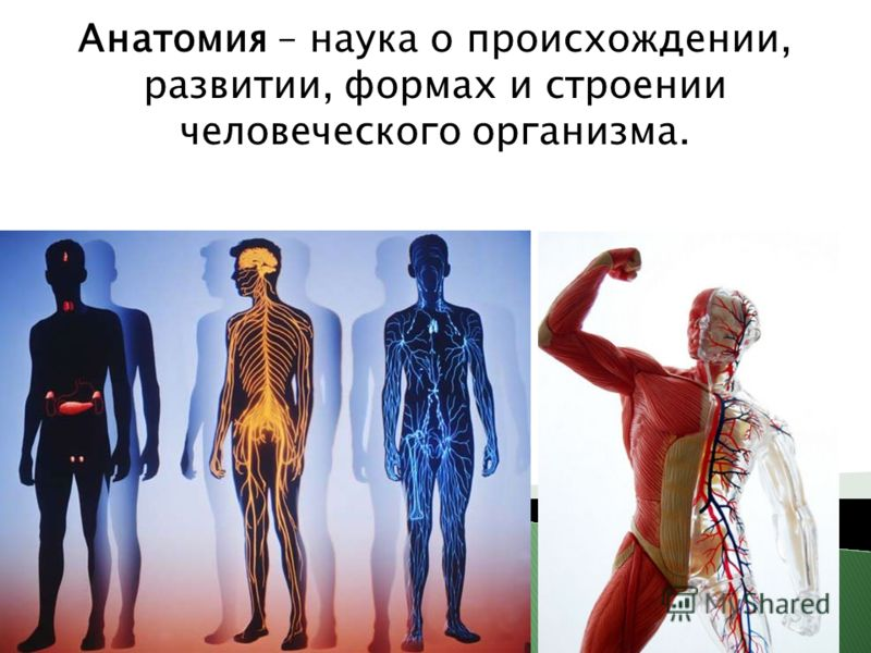 Анатомия – наука о происхождении, развитии, формах и строении человеческого организма.