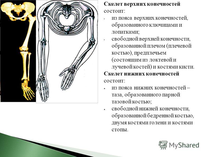 Скелет верхних конечностей состоит: из пояса верхних конечностей, образованного ключицами и лопатками; свободной верхней конечности, образованной плечом (плечевой костью), предплечьем (состоящим из локтевой и лучевой костей) и костями кисти. Скелет н