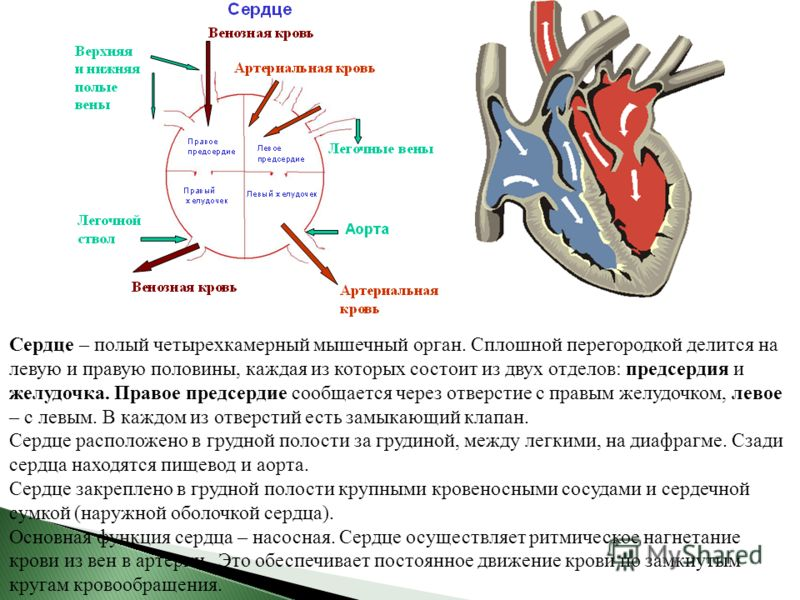 Сердце – полый четырехкамерный мышечный орган. Сплошной перегородкой делится на левую и правую половины, каждая из которых состоит из двух отделов: предсердия и желудочка. Правое предсердие сообщается через отверстие с правым желудочком, левое – с ле