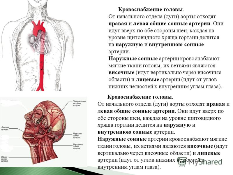 Кровоснабжение головы. От начального отдела (дуги) аорты отходят правая и левая общие сонные артерии. Они идут вверх по обе стороны шеи, каждая на уровне щитовидного хряща гортани делится на наружную и внутреннюю сонные артерии. Наружные сонные артер