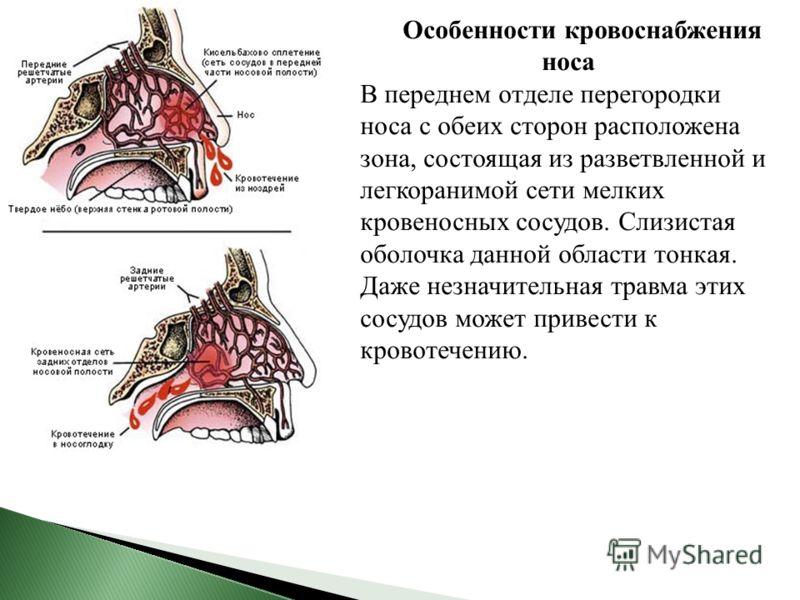 Особенности кровоснабжения носа В переднем отделе перегородки носа с обеих сторон расположена зона, состоящая из разветвленной и легкоранимой сети мелких кровеносных сосудов. Слизистая оболочка данной области тонкая. Даже незначительная травма этих с