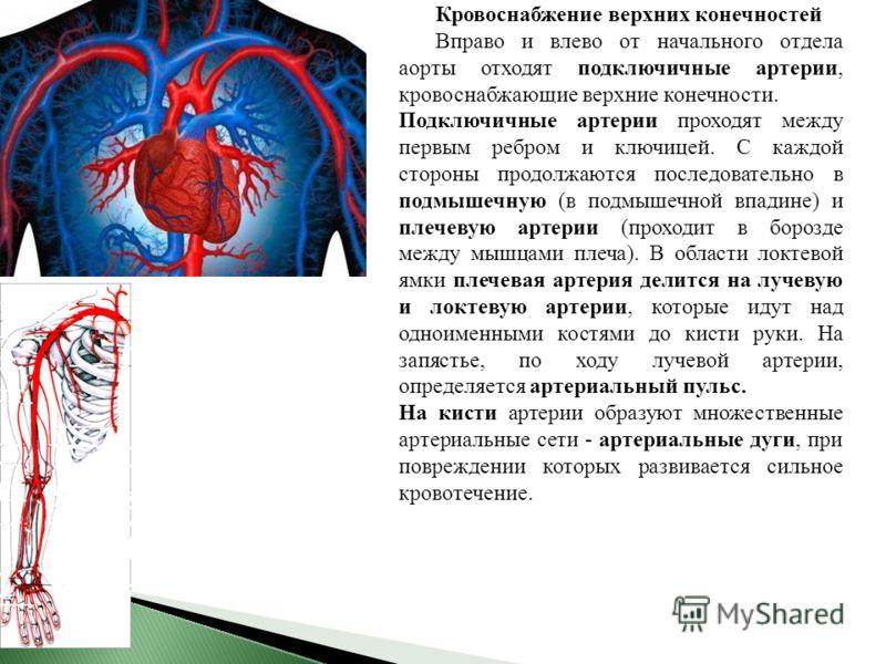 Кровоснабжение верхних конечностей Вправо и влево от начального отдела аорты отходят подключичные артерии, кровоснабжающие верхние конечности. Подключичные артерии проходят между первым ребром и ключицей. С каждой стороны продолжаются последовательно