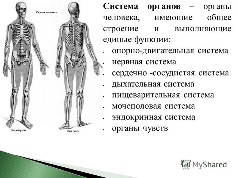 Система органов – органы человека, имеющие общее строение и выполняющие единые функции: опорно-двигательная система нервная система сердечно -сосудистая система дыхательная система пищеварительная система мочеполовая система эндокринная система орган