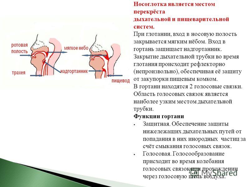 Носоглотка является местом перекрёста дыхательной и пищеварительной систем. При глотании, вход в носовую полость закрывается мягким нёбом. Вход в гортань защищает надгортанник. Закрытие дыхательной трубки во время глотания происходит рефлекторно (неп