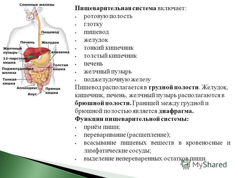 Пищеварительная система включает: ротовую полость глотку пищевод желудок тонкий кишечник толстый кишечник печень желчный пузырь поджелудочную железу Пищевод располагается в грудной полости. Желудок, кишечник, печень, желчный пузырь располагаются в бр