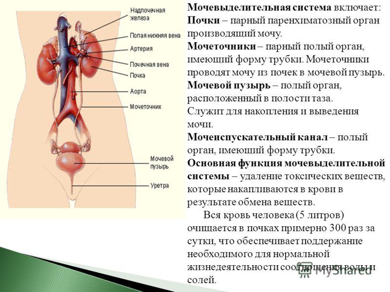 Мочевыделительная система включает: Почки – парный паренхиматозный орган производящий мочу. Мочеточники – парный полый орган, имеющий форму трубки. Мочеточники проводят мочу из почек в мочевой пузырь. Мочевой пузырь – полый орган, расположенный в пол