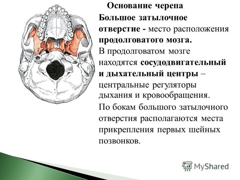 Основание черепа Большое затылочное отверстие - место расположения продолговатого мозга. В продолговатом мозге находятся сосудодвигательный и дыхательный центры – центральные регуляторы дыхания и кровообращения. По бокам большого затылочного отверсти